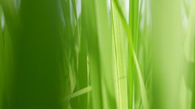 Moving through refreshing green paddy field, fresh rice tree leaves, under bright afternoon sunlight.  stock footage