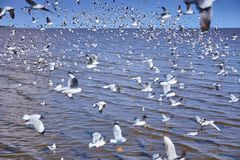 Moving Seagull birds flock on the sea. Selective focus of moving Seagull birds flock on the sea royalty free stock photos
