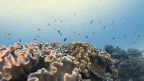 Getting past a healthy coral reef. A moving shot of a coral reef. The shot gets past the coral reef. Different plants and fish are seen on the shot stock footage