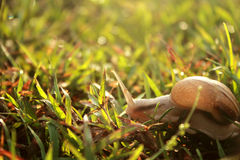 Moving Snail Royalty Free Stock Images