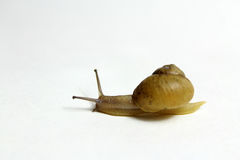 Moving snail Royalty Free Stock Image