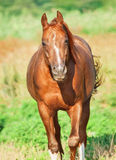 Moving sorrel horse at freedom. Sunny morning stock photo