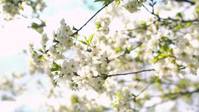 Moving of spring cherry tree with flowers. 4k.  stock footage