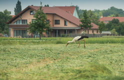 A moving stork Royalty Free Stock Images