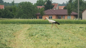 A moving stork Royalty Free Stock Photos
