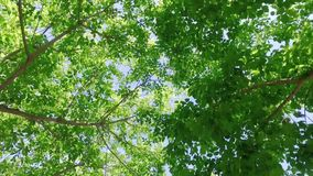 Looking upward through fast moving tree canopy with leaves swaying in the breeze with a smooth direct parallel movement. Moving swiftly while looking upward stock video footage
