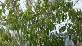 Moving tree. Tree moved by the wind stock video footage