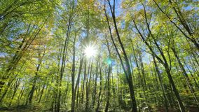 Moving Among the Trunks of the Beech Trees in Fall. Sun rays crossing the beech leaves in Fall stock video footage