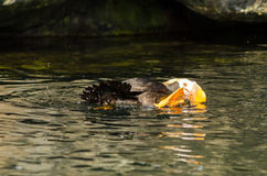 Moving Tufted Puffin Stock Image