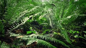 Moving Under Ferns In Forest. Dolly shot moving through the undergrowth past ferns stock footage