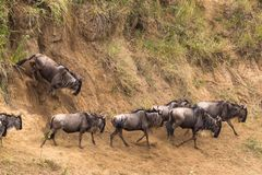 Moving through the water obstacle. Herds of wildebeest. Kenya, Africa. Moving through the water obstacle. Herds of wildebeest. Kenya, East Africa stock photography