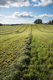 Mowed agricultural field. Royalty Free Stock Photography