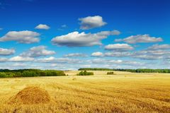 Mowed cornfield Royalty Free Stock Image
