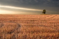Mowed field of buckwheat. With a view of lonely tree and light beam Stock Photo