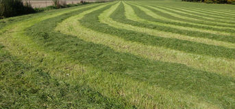 Mowed grass in hayfield  Royalty Free Stock Image