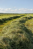 Mowed hay. Royalty Free Stock Images