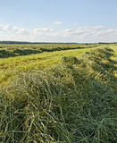 Mowed hay. Stock Photo
