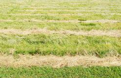Mowed hay on the field. Royalty Free Stock Photo
