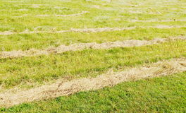 Mowed hay on the field. Royalty Free Stock Photos
