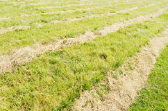 Mowed hay on the field. Stock Image