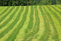 Mowed hay field with rows Royalty Free Stock Photography