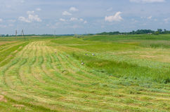 Mowed hay with storks on a water-meadow Royalty Free Stock Images