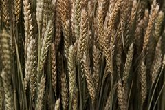 Mowed spike of barley. Agriculture and farming concept. Fresh green ears of wheat sprouts texture background, close-up, top view. Mowed spike of barley stock photography
