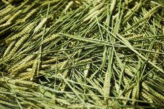 Mowed spike of barley. Agriculture and farming concept. Fresh green ears of wheat sprouts texture background, close-up, top view. Mowed spike of barley royalty free stock image