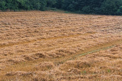 Mowed stubble cornfield after harvest. Royalty Free Stock Photography