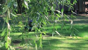 Mowing behind hanging cherry. Hanging cherry in front of guy mowing lawn stock video