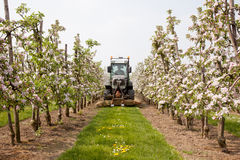 Mowing grass in blossoming orchard in Holland Royalty Free Stock Photo