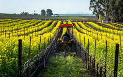 Mowing mustard in a vineyard. Mowing of the mustard cover crop in the Carneros region of Sonoma county, California Stock Photo