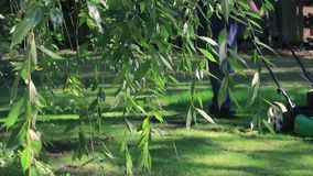 Mowing off screen behind branches. Hanging cherry in front of guy mowing front yard stock video