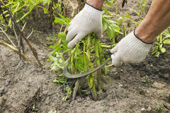 Mowing potato haulm before digging gather Stock Images