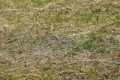 Mown drying grass on the field royalty free stock photography