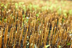 Mown field , stubble in rays of sunlight. Mown field, stubble in rays of sunlight, closeup. agriculture concept royalty free stock photography