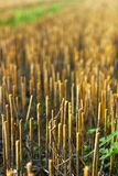 Mown field , stubble in rays of sunlight. Mown field, stubble in rays of sunlight, closeup. agriculture concept stock photo