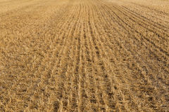 Mown field of wheat Stock Photo