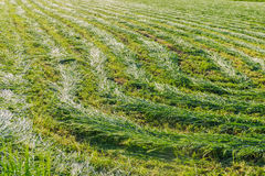 Mown hay Stock Image