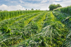 Mown hay Royalty Free Stock Photos