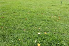 Mown lawn with fallen leaves of birch. Mown lawn with several fallen leaves of birch Stock Photos