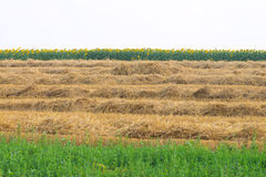 Mown wheat, sunflower and grass Royalty Free Stock Photo