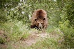 Moyen de regards d'ours gris de mauvaise nouvelle et affamé le long de la traînée Images stock
