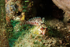 Moyer's dragonet in Ambon, Maluku, Indonesia underwater photo Stock Photo