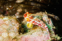 Moyer's dragonet in Ambon, Maluku, Indonesia underwater photo Royalty Free Stock Images