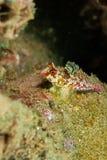 Moyers dragonet i Ambon, Maluku, Indonesien undervattens- foto Royaltyfri Bild