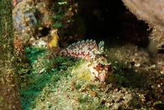 Moyers dragonet i Ambon, Maluku, Indonesien undervattens- foto Arkivfoto
