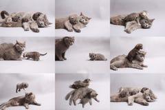 Mozaïekfoto's van Britse Shorthair-katjes royalty-vrije stock foto's