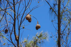 Mozambique hanging birds nests between branches Stock Images