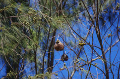 Mozambique hanging between branches nest Royalty Free Stock Photos